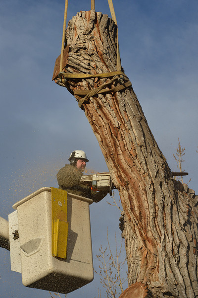 Grant Lauer an arborist with Arbortec tree service cuts a 1,500 lb. section of a 92 year old cottonwood tree along King Circle on Tuesday, rescuing two honeybee hives containing 80,000 honey bees. The plywood board above Lauer protects the bees.<br /> November 27, 2012<br /> staff photo/ David R. Jennings