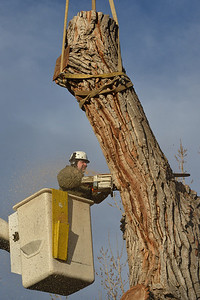 Grant Lauer an arborist with Arbortec tree service cuts a 1,500 lb. section of a 92 year old cottonwood tree along King Circle on Tuesday, rescuing two honeybee hives containing 80,000 honey bees. The plywood board above Lauer protects the bees. November 27, 2012 staff photo/ David R. Jennings
