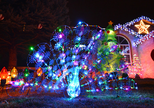 A peacock is a treat to see in the holiday lighting display at 1065 W. 11th Ct. in Broomfield.<br /> December 6, 2012<br /> staff photo/ David R. Jennings