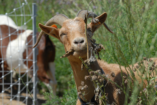 A goat eats a thistle growing on land owned by the City and County of Broomfield at the northwest corner of 144th Ave. and Lowell Blvd. <br /> August 1, 2009<br /> staff photo/David Jennings