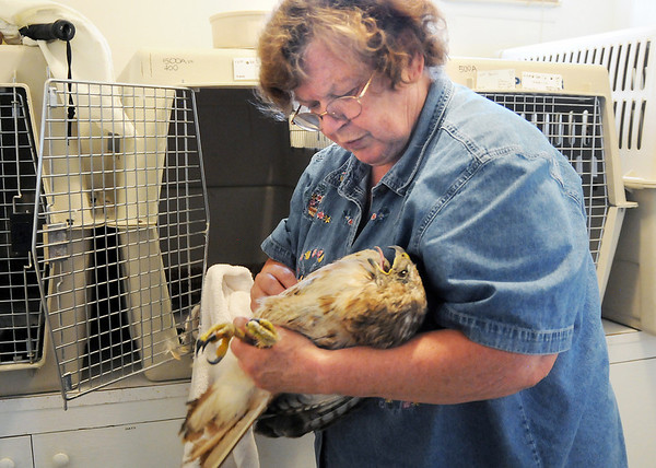 Birds of Prey Foundation executive director Sigrid Ueblacker,  in the intensive care unit  on Friday, examines a Red-tailed Hawk injured in the severe thunderstom on July 20. Ueblacker died on October 28, 2009.<br /> <br /> July 24,2009<br /> staff photo/David Jennings