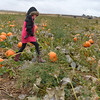 McKenna George, 6, walks the field looking for a  pumpkin with her family at the Rock Creek Farm on Saturday.<br /> October 6, 2012<br /> staff photo/ David R. Jennings