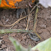 A snake is revealed hiding under a pumpkin in a field at the Rock Creek Farm on Saturday.<br /> October 6, 2012<br /> staff photo/ David R. Jennings