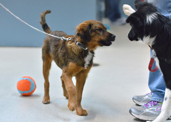Dash, left, owned by Ann and Peter Ko, plays with Oreo owned by Leslie Soltis during puppy socialization class at Rocky Mountain Dog Training on Saturday.<br /> November 10, 2012<br /> staff photo/ David R. Jennings