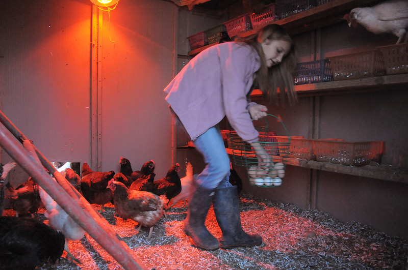 """Shelby Grebenc, 12, gathers eggs from 130 chickens for her business """"Shelby's Happy Chapped Chicken Butt Farm"""" at the family's home of 4 acres in Broomfield on Thursday. Grebenc is the youngest person to be certified as an Animal Welfare Approved chicken farm.<br /> For more photos please see  <a href=""""http://www.broomfieldenterprise.com"""">http://www.broomfieldenterprise.com</a><br /> January 19, 2012<br /> staff photo/ David R. Jennings"""