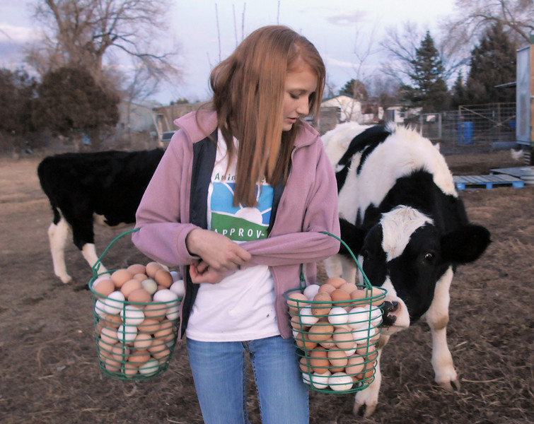 "Shelby Grebenc, 12, is greeted by Spot, one of the family's steers, while carrying about 13 dozen eggs gathered from 130 chickens for her business ""Shelby's Happy Chapped Chicken Butt Farm"" at the family home of 4 acres in Broomfield on Thursday. Grebenc is the youngest person to be certified as an Animal Welfare Approved chicken farm.<br /> For more photos please see  <a href=""http://www.broomfieldenterprise.com"">http://www.broomfieldenterprise.com</a><br /> January 19, 2012<br /> staff photo/ David R. Jennings"