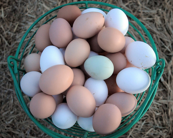 "A basket full of Shelby Grebenc's eggs gathered from her 130 chickens for her business ""Shelby's Happy Chapped Chicken Butt Farm"" in Broomfield on Thursday. Grebenc is the youngest person to be certified as an Animal Welfare Approved chicken farm.<br /> For more photos please see  <a href=""http://www.broomfieldenterprise.com"">http://www.broomfieldenterprise.com</a><br /> January 19, 2012<br /> staff photo/ David R. Jennings"