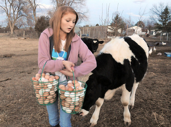 """Shelby Grebenc, 12, is greeted by Spot, one of the family's steers, while carrying about 13 dozen eggs gathered from 130 chickens for her business """"Shelby's Happy Chapped Chicken Butt Farm"""" at the family home of 4 acres in Broomfield on Thursday. Grebenc is the youngest person to be certified as an Animal Welfare Approved chicken farm.<br /> For more photos please see  <a href=""""http://www.broomfieldenterprise.com"""">http://www.broomfieldenterprise.com</a><br /> January 19, 2012<br /> staff photo/ David R. Jennings"""