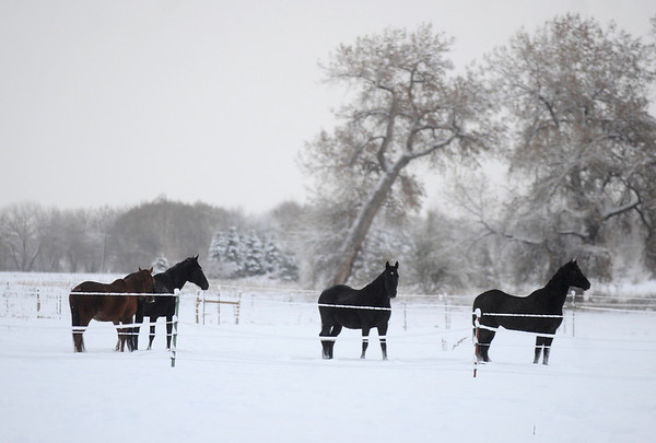 SNOW101<br /> Horses hang out in a pasture off Airport Road in Longmont on Thursday morning.<br /> Photo by Marty Caivano/Camera/Oct. 29, 2009