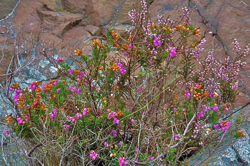 Heather -- a beautiful plant that thrives in the poor rocky soil of Scotland's coast. It is 8- to 20-inches tall and blooms in either white or mauve.<br /> <br /> photo/Gerry Case