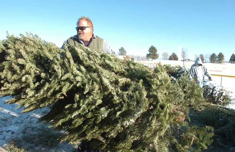 Chuck Gehringer, Broomfield Parks,  carries a Christmas tree to the wood chipper at the tree collection site in Community Park on Thursday.<br /> January 12, 2012<br /> staff photo/ David R. Jennings
