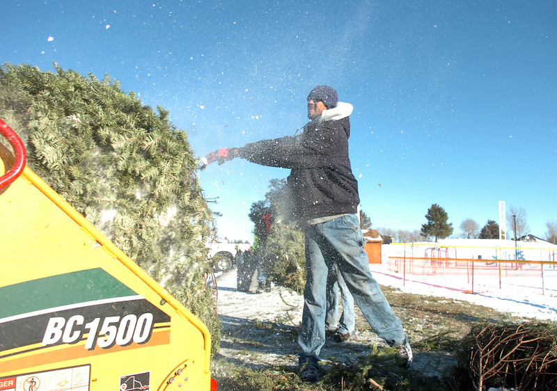 Ricky Newton, Broomfield Parks, puts a Christmas tree to the wood chipper at the tree collection site in Community Park on Thursday.<br /> <br /> January 12, 2012<br /> staff photo/ David R. Jennings
