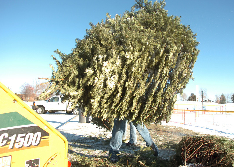 Ricky Newton, Broomfield Parks, carries a Christmas tree to the wood chipper at the tree collection site in Community Park on Thursday.<br /> January 12, 2012<br /> staff photo/ David R. Jennings