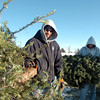 Ricky Newton, left, and Josh White, Broomfield Parks, put  Christmas trees into the wood chipper at the tree collection site in Community Park on Thursday.<br /> January 12, 2012<br /> staff photo/ David R. Jennings