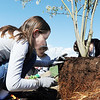 "Katherine Tutt, 11, cuts the roots of a newly tree so they don't grow in circles after being planted during the ""Trees for a Healthy Community and Economy"" event on Saturday. <br /> <br /> <br /> <br /> April 14, 2012 <br /> staff photo/ David R. Jennings"