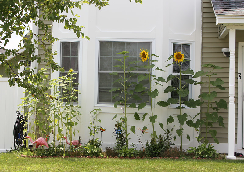 JUly 21, 2021 -- River's Edge on the Concord, in Lowell, where construction of single family and duplex houses began in 2006. Sunflowers at a house on Eclund Drive.  SUN/Julia Malakie