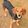 Katrina, a young beagle mix that came to the shelter in October with an injured leg. Some tender, loving care was all it took for this bright-eyed girl to get back on her feet and ready to play. Animal control manager Laura Johnston reported that Katrina is okay with most other dogs and is not interested in cats. Katrina has tested negative for heartworms and has been vaccinated and treated for parasites. This young dog is partially house trained. Her adoption fee is $100, which includes her spay.