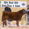 Red Angus Lot 28 Reserve Bull