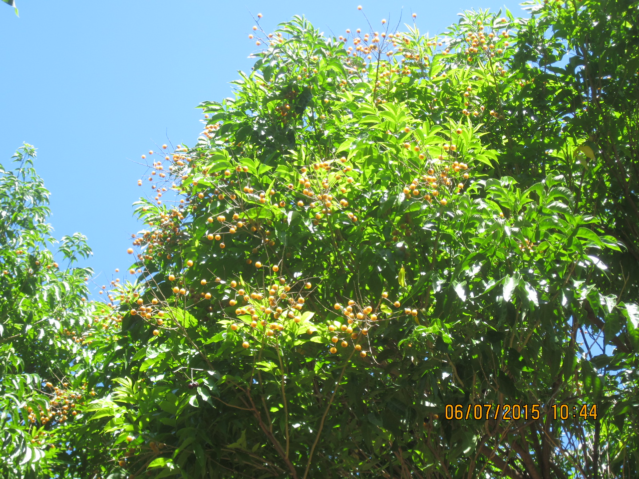 Dragon Eye fruit tree.. on the way to Denny's.. I am so thrilled!