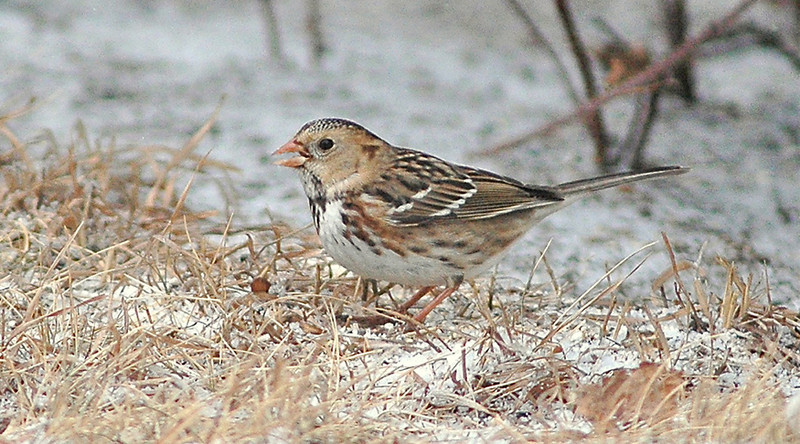 A Harris's Sparrow was spotted during the Christmas bird count.