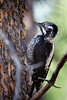 Three-toed Woodpecker, female<br /> Not as rare a bird as they once were, the Three-toed Woodpeckers have increased in numbers due to the trees which have recently died due to the Pine Bark Beetle epidemic.  Also, trees that have been killed by wildfires are attractive to these birds.