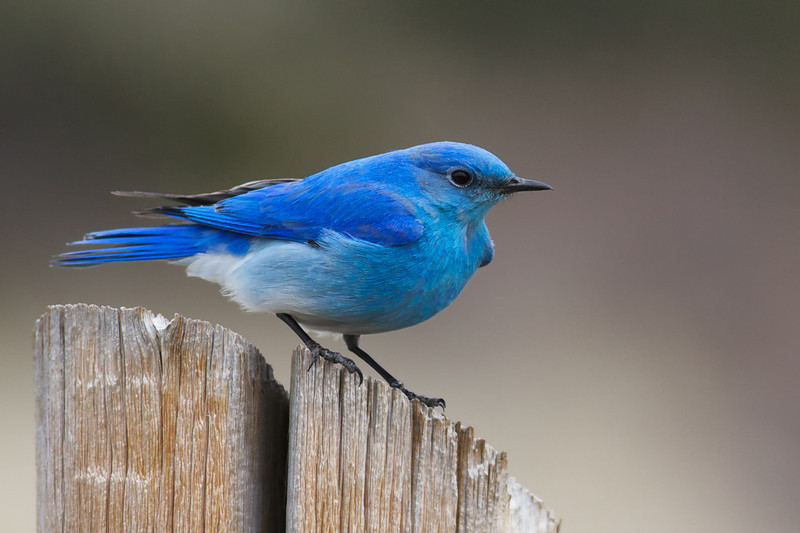 The spring of 2013 was devastating to the bluebird population.  80 inches of snow and very low temps between March 24 and May 1, 2013 caused a sharp reduction in the number of bluebirds nesting in Rocky Mountain National Park.  We are happy to see the numbers rebound in 2014, as the weather has been less severe.  Numbers of bluebirds have not yet reached normal, but there are a number of breeding pairs in each glacial valley.