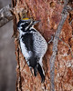 Three-toed Woodpecker, male<br /> Not as rare a bird as they once were, the Three-toed Woodpeckers have increased in numbers due to the trees which have recently died due to the Pine Bark Beetle epidemic.  Also, trees that have been killed by wildfires are attractive to these birds.