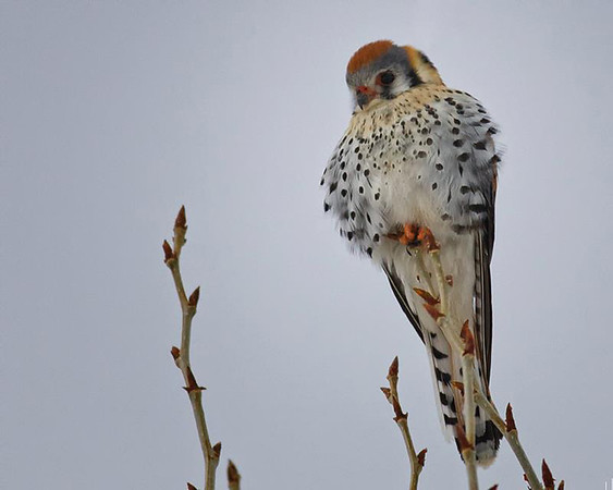 American Kestrels have been more numerous in Upper Beaver Meadows this spring.  The Flood of September 2013 may have changed the cover used by the rodents preyed upon by the Kestrel.  More mice and voles are attracting the small hunter.