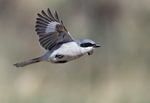 The Loggerhead Shrike, which is an uncommon bird in Rocky Mountain Park, has been spotted more frequently this spring.  These birds prey on mice, voles, small birds and insects.  The heavy rains of September 2013 may have increased the hunting opportunities of the Loggerhead Shrike in terms of number of target creatures and the nature of the meadow cover.