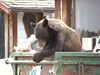 05ep bear dumpster.jpg A black bear does some dumpster diving across Spur 66 near Ram's Horn. This is a dangerous activity for bears as they will be destroyed if they become nuisance animals. It is the responsibility of residents to make sure their dumpsters and other trash containers are properly secured so bears cannot gain access to them.