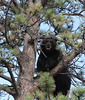 eio moraine bear.jpg A black bear, takes refuge in a tree west Moraine Avenue in late July after a local business owner discovered the bear under his deck.