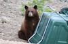 eio Bear at dumpster.jpg Now is a good time to contact the Estes Park garbage inspector.  Free of charge (and uninvited) he will visit your home to sample your garbage to make sure it is of a sufficiently high standard.  He will also provide helpful suggestions on how to secure your garbage containers or keep them inside this time of year.  He will also remind you to take in all bird feeders at night until summer arrives.