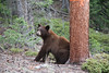 eio bear cub scratch.jpg One of two bear cubs seen in Little Valley May 22 takes full advantage of what's available to scratch that itch.