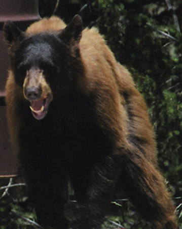 eio bear near allenspark.jpg This hungry bear was spotted at a rest stop on HWY 7 near Allenspark.