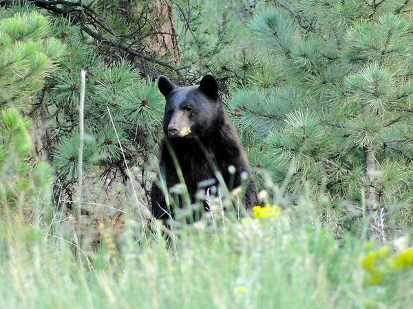 eio black bear fish creek rd.jpg A black bear in the foliage along Fish Creek Road in Estes Park.
