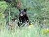 eio black bear fish creek rd.jpg A black bear in the foliage along Fish Creek Road in Estes Park.