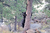 eio bear up a tree.jpg This bear was sleeping in the tree  across Hwy. 36 from the Warming House.for several hours before climbing down and leaving the scene.