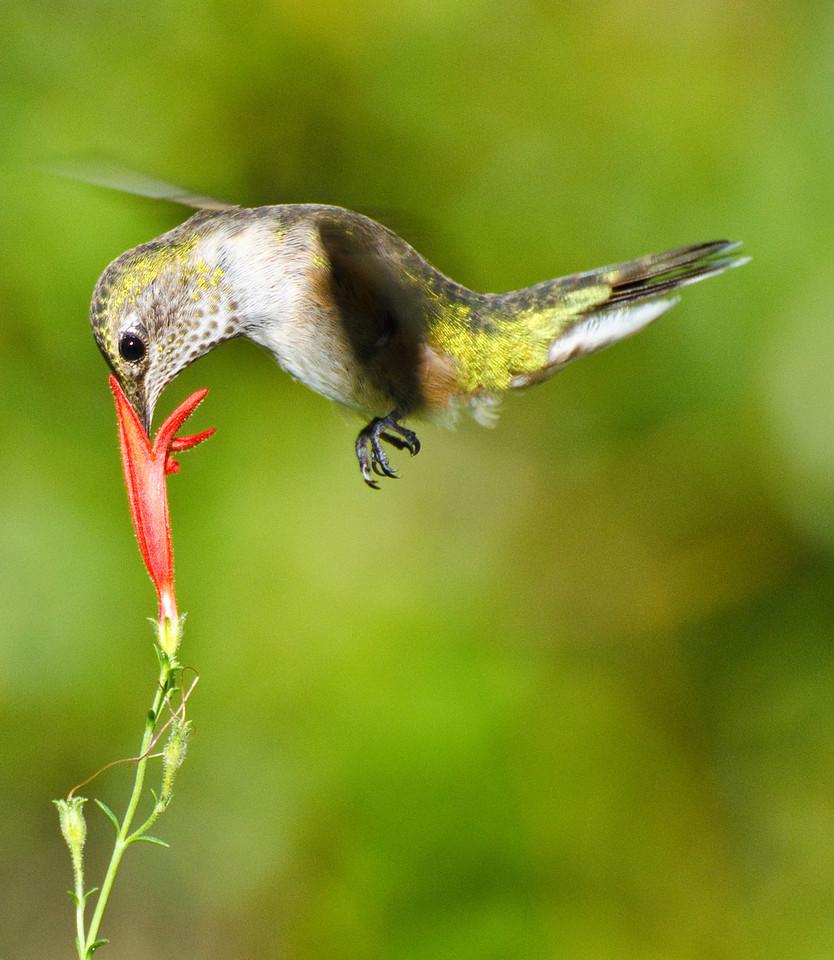 eio hummingbird at flower.jpg A hummingbird visiting the last penstemmon in en Estes Park backyard.