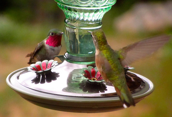 eio hummingbird standoff.jpg A standoff between two hummingbirds at a feeder in Little Valley.