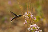 28EPStndAln Hummingbird.jpg Photo by Walt Hester<br /> A humming bird stabs at a bloom at the YMCA of the Rockies on Tuesday. The birds are still hanging around the Estes Park area, preparing for their fall migration.
