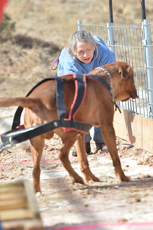 A handler tries to coax a large dog into pulling on Sunday. Handlers can coax from in front or behind, but cannot touch the dog while the dog is pulling.