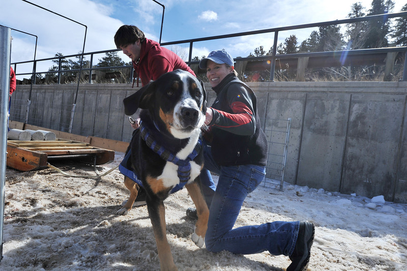 Teresa Petterson of Montrose hangs on to her friendly and powerful Greater Swiss mountain dog, Bridger, at Sunday's Estes Park Cup weight pull competition. Bridger has won the Swiss mountain dog weight pull national championship four years running, by primarily pulls Petterson while skijor racing.