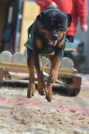 A large and enthusiastic Rottweiler named Bruno makes short work of 390 pounds on Sunday. Bruno weighed over 100 pounds, but pulled almost four times his weight.