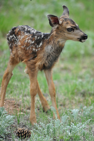 17EP EIO New in town.jpg Walt Hester | Trail Gazette<br /> A day-old fawn explores its home in a Carriage Hills back yard on Monday. Deer seem to like fenced yards, as they provide at least a little barrier to predators.