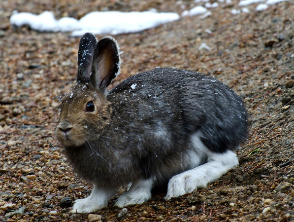 eio snowshoe hare biddle.jpg A snowshoe hare near Bear Lake has almost changed into its summer colors but still has big white feet.  The snow flakes from recent flurries stick to its ears.