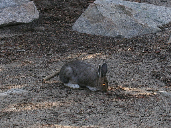 eio snow shoe hare summer.jpg A snowshoe hare, decked out in its summer colors, blends into the background near the shores of Sand Beach Lake in Rocky Mountain National Park.