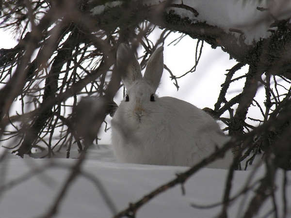 smg snowshoe hare full winter coat