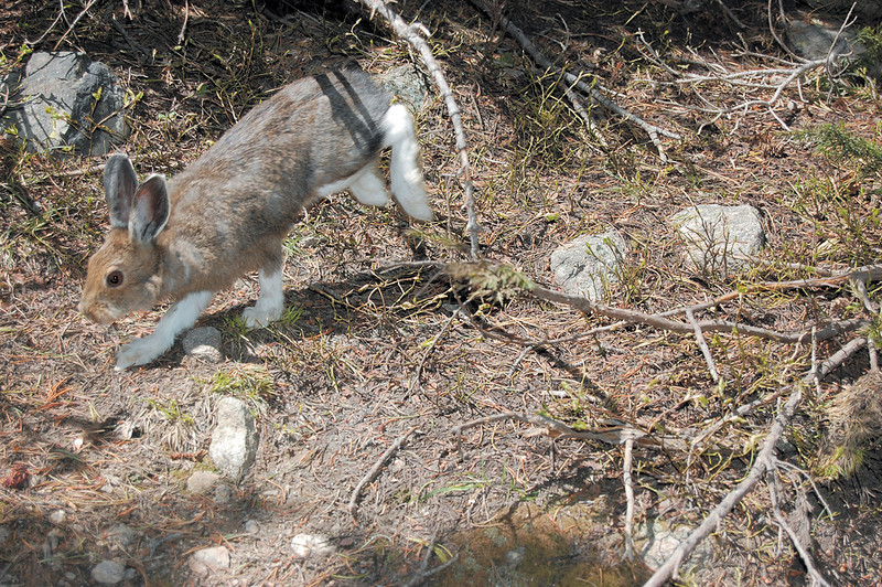 Summer snowshoe hare