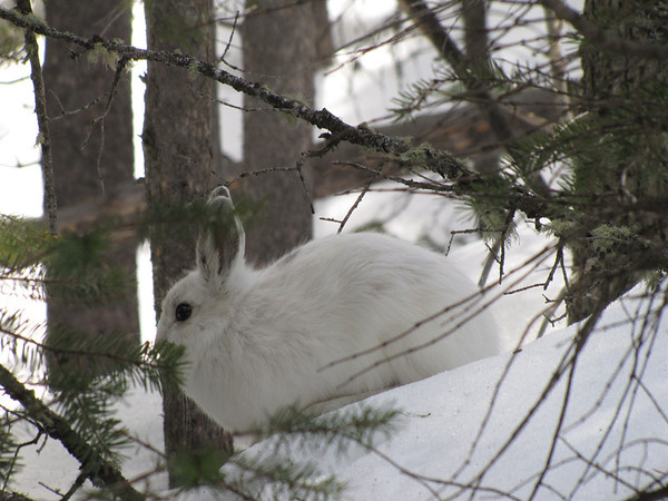 eio snowshoe hare hidden falls.jpg A snowshoe hare sits near the trail to Hidden Falls.