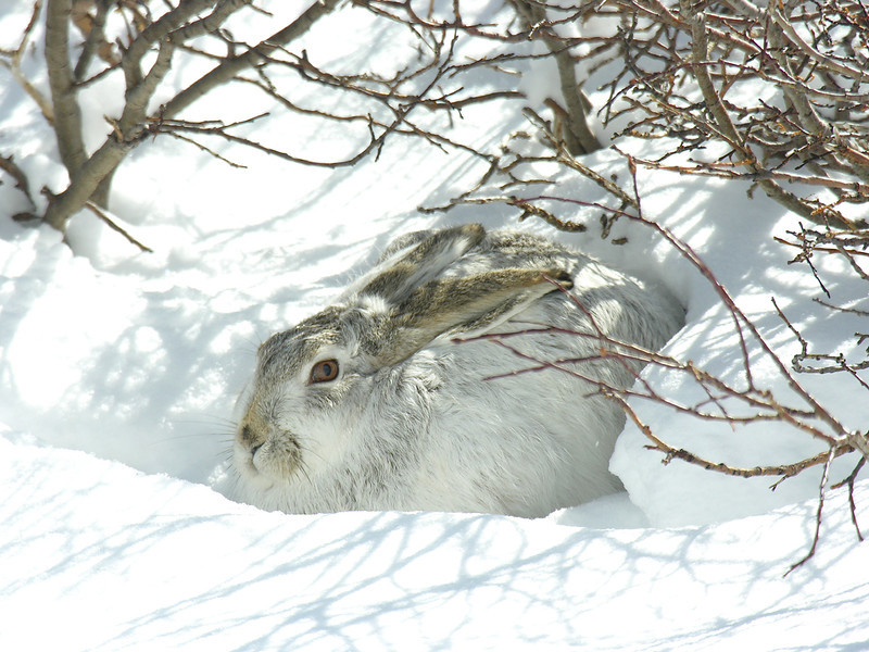 smg snowshoe hare mid change